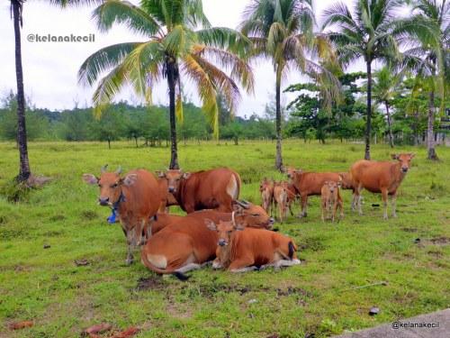 Sapi-sapi yang dijerat kemudian dipelihara